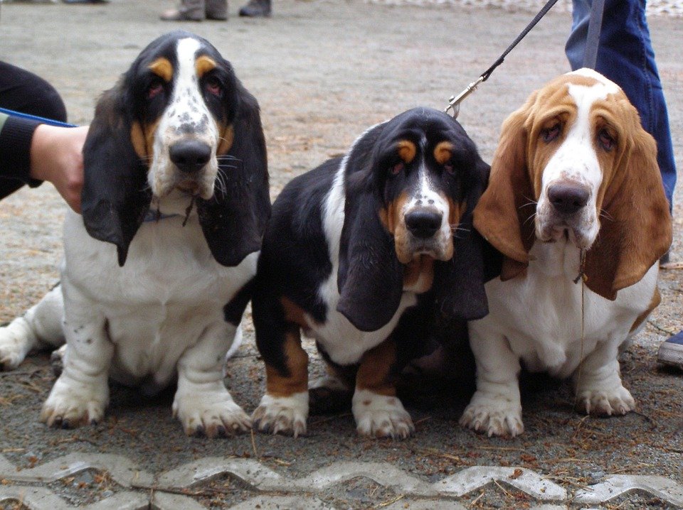 three basset hounds huddled together