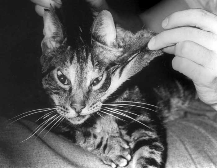 This cat with cutaneous asthenia has typical hyperextensibility of the skin