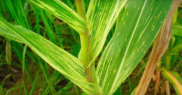 Enfezamento pálido do milho