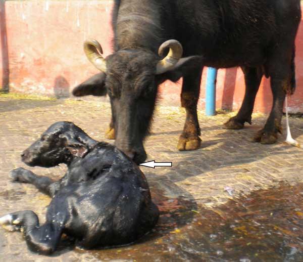 Interacción feto-materna después del parto. Las flechas muestra a la búfala lamiendo la capa de pelo húmeda del feto.