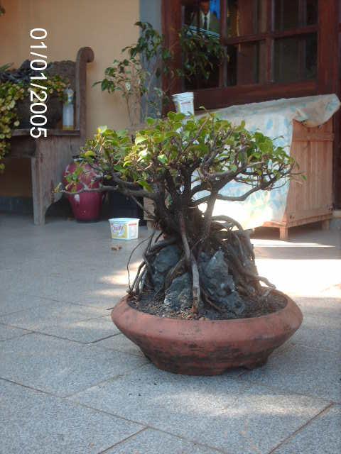 Ficus Microcarpa do Roberto Teixeira... YFEgkbaLEq_JEG44dEuOF6VgbkAaGtYVvP1sZMGk0eo=w480-h640-no