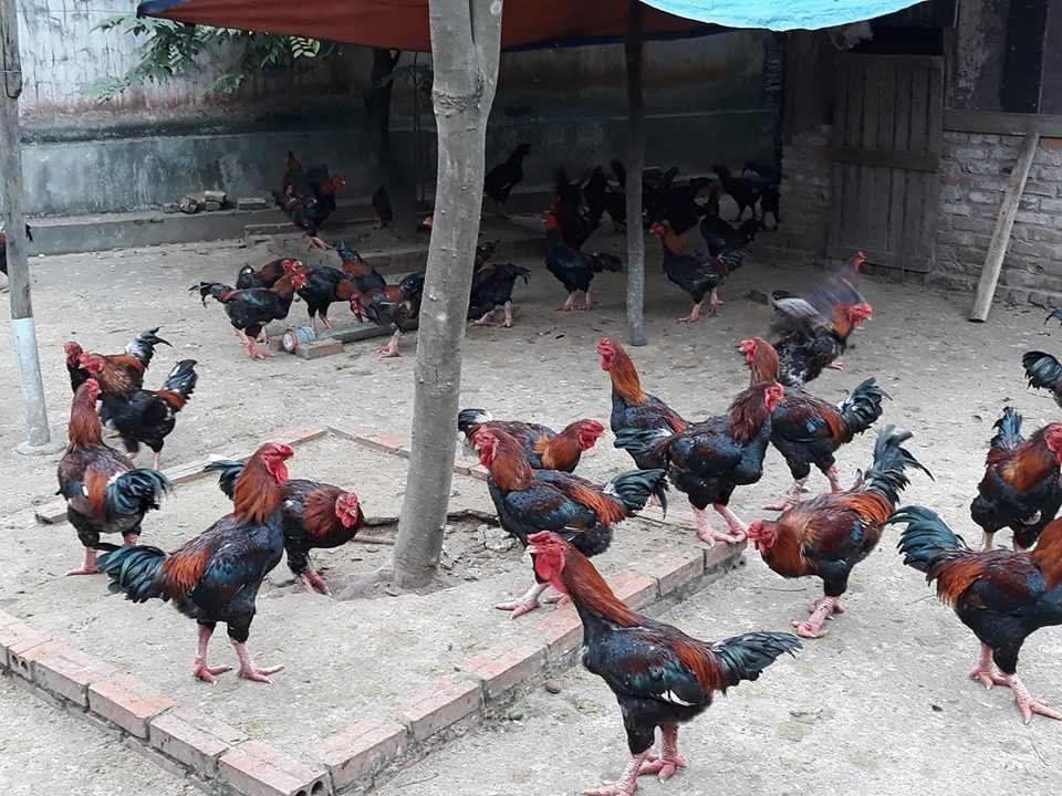 Trị bệnh đầu đen ở gà