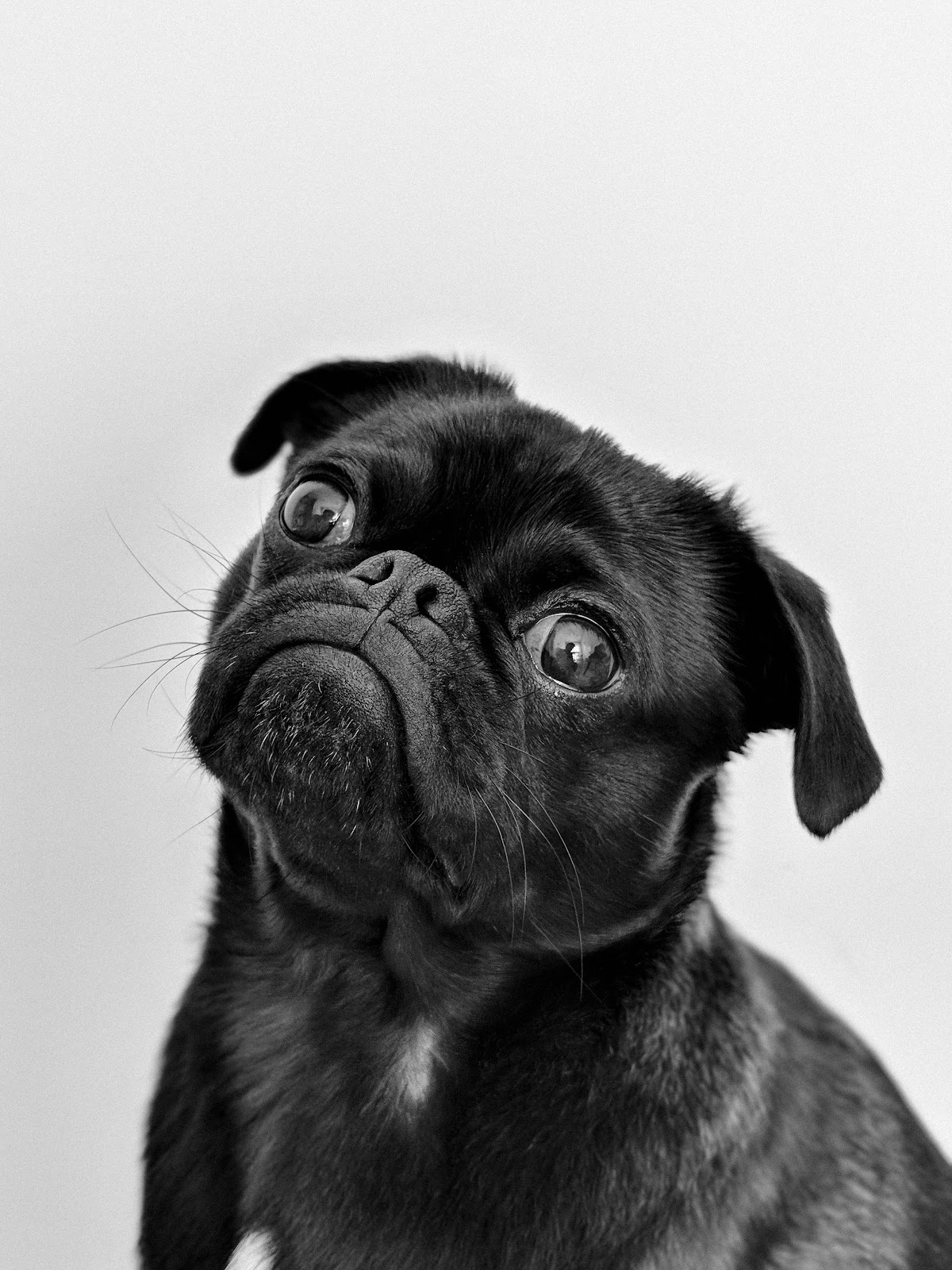 A black and white photo of a black pug tilting its head.