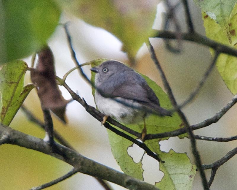 https://upload.wikimedia.org/wikipedia/commons/b/b4/Pygmy_Tit_%28Psaltria_exilis%29.jpg