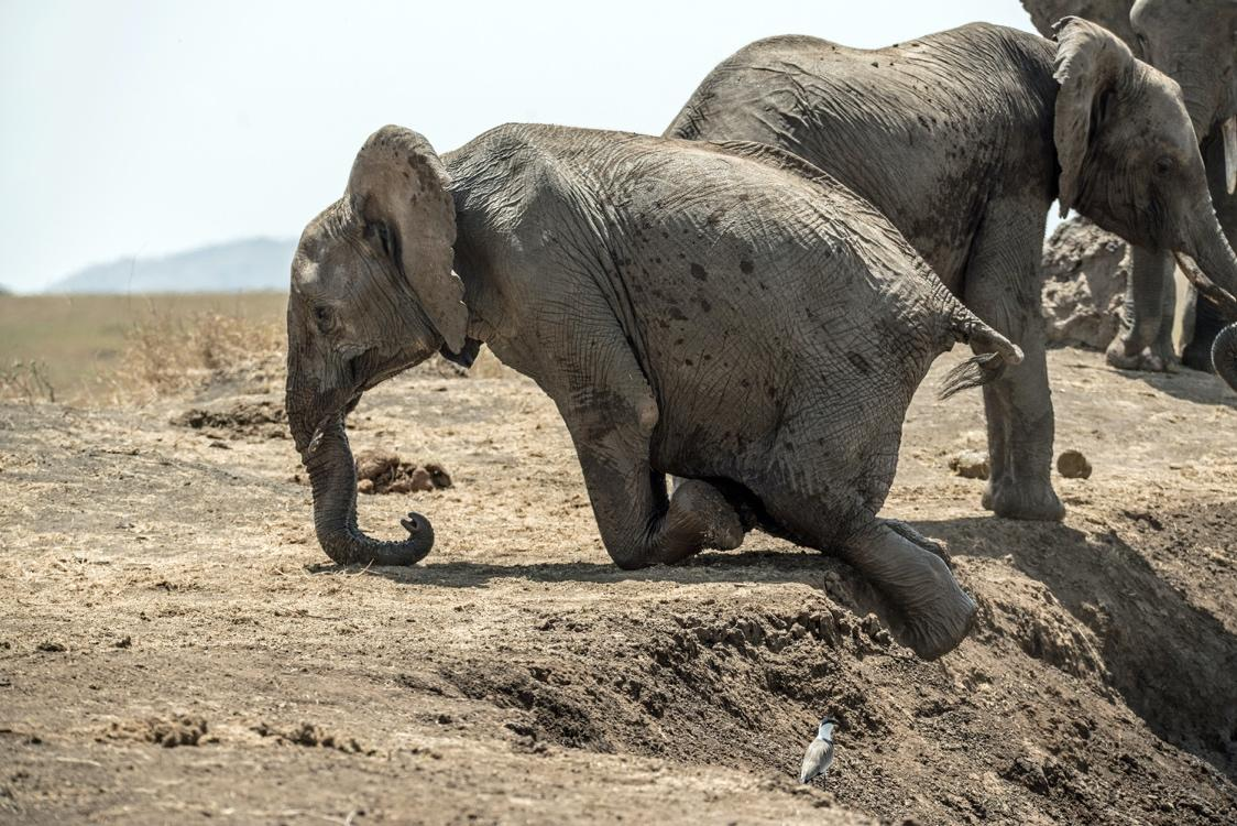 A mother and baby elephant walking in the dirt  Description automatically generated