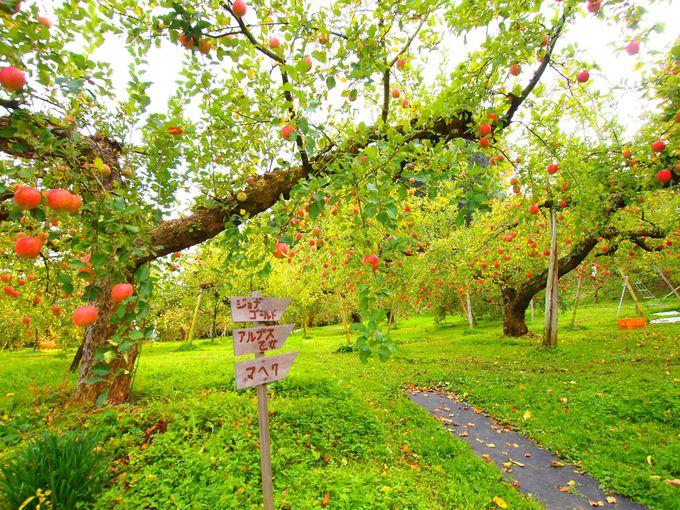 「大子町」で秋を感じる完熟りんご狩り!(茨城)