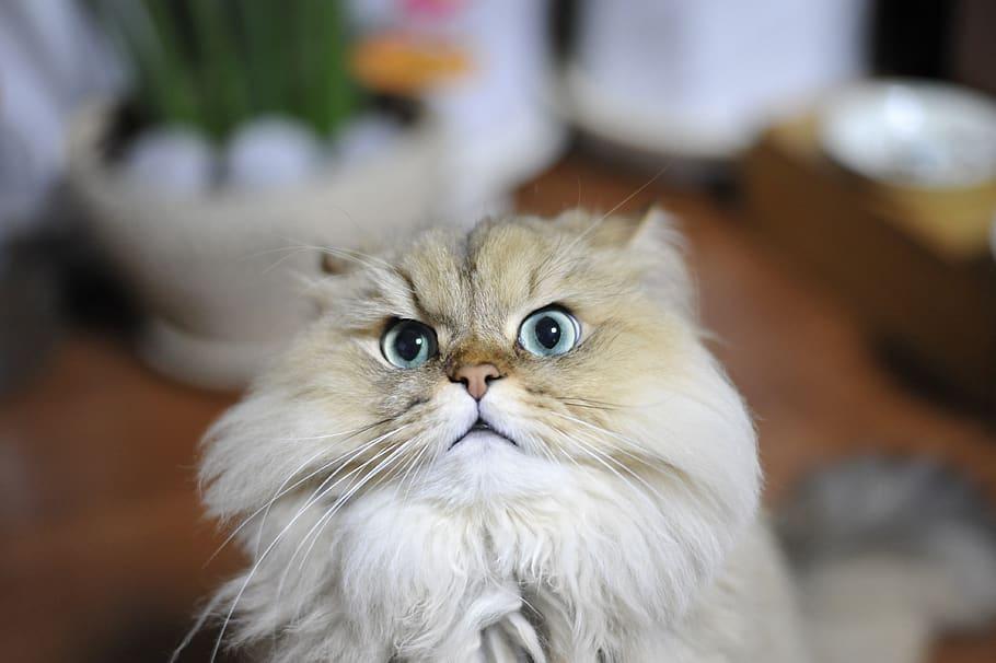cat, pets, persian chinchilla, domestic cat, domestic, domestic animals, one animal, mammal, feline, portrait