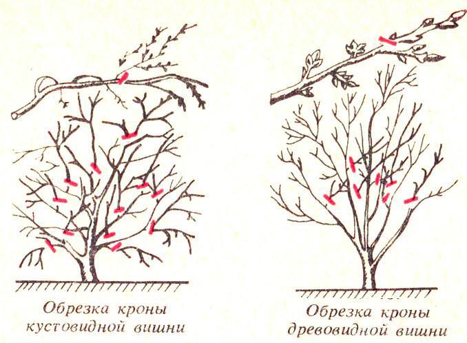 Схемы обрезки кроны вишни