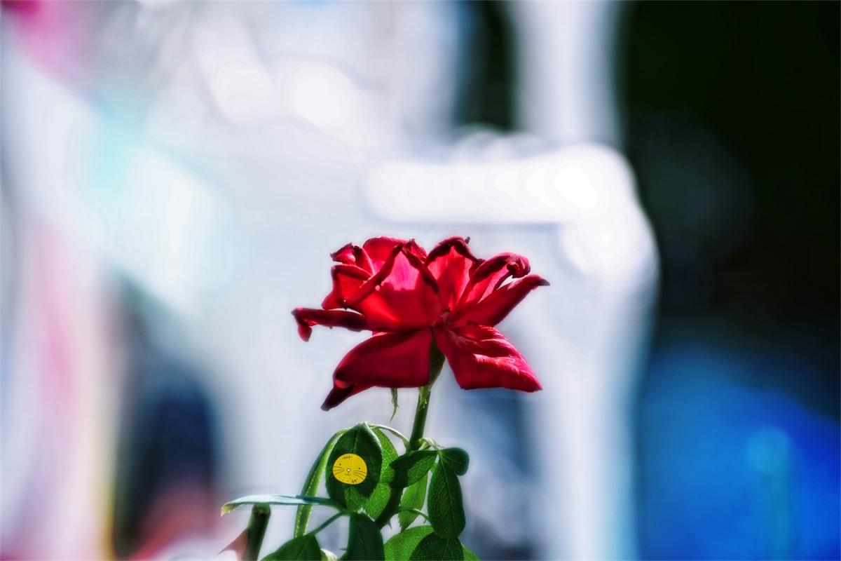 Patio Rose.jpg