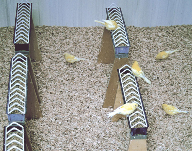 Young canaries are housed in a large cage for flight exercise