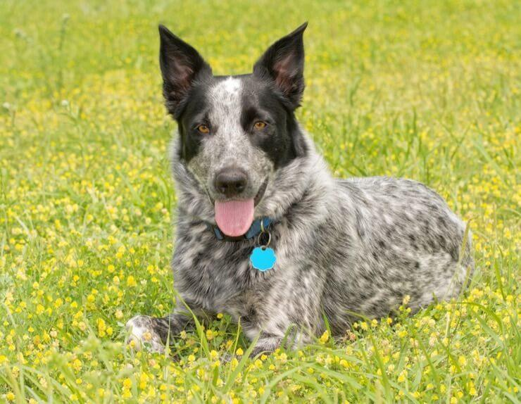 Australian Shepherd Blue Heeler Mix: 5 Fun Facts You Need To Know