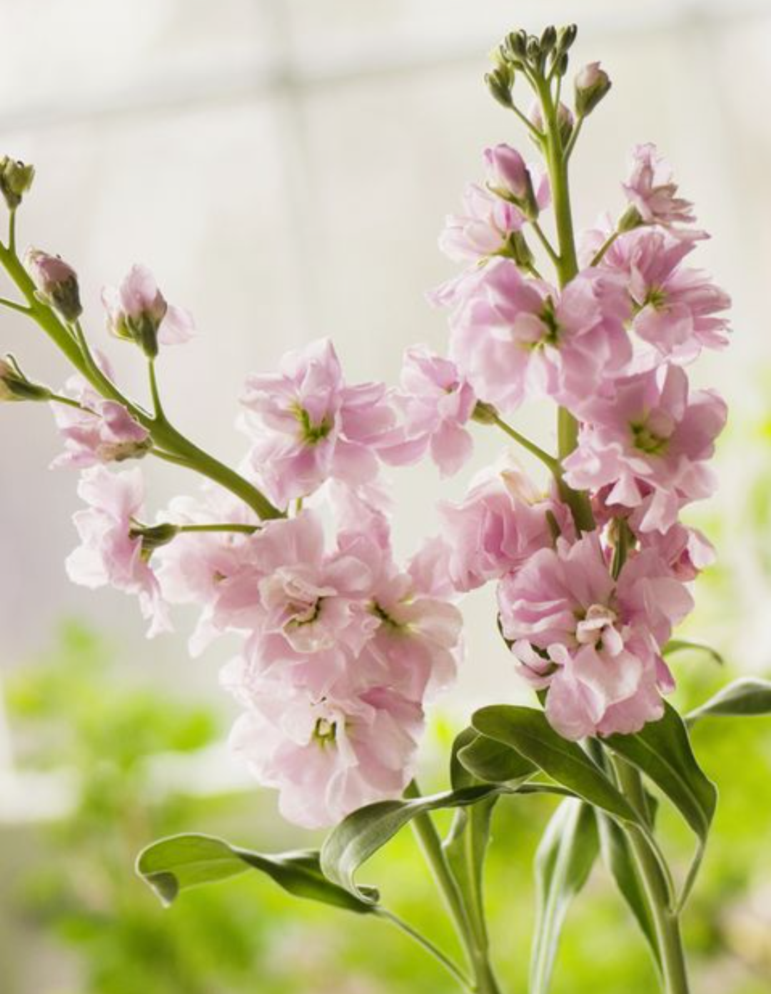Exotic Flowers-Matthiola Incana
