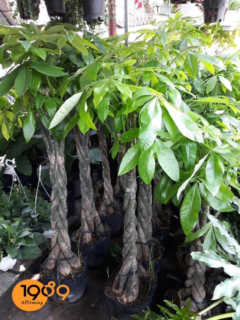 Cây Kim ngân thắt bím được dưỡng tại vườn 1989
