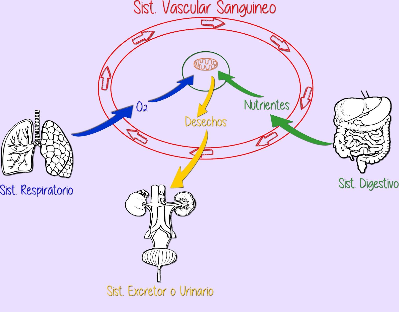 Circuito Sanguineo : Cate: el sistema vascular sanguíneo en acción