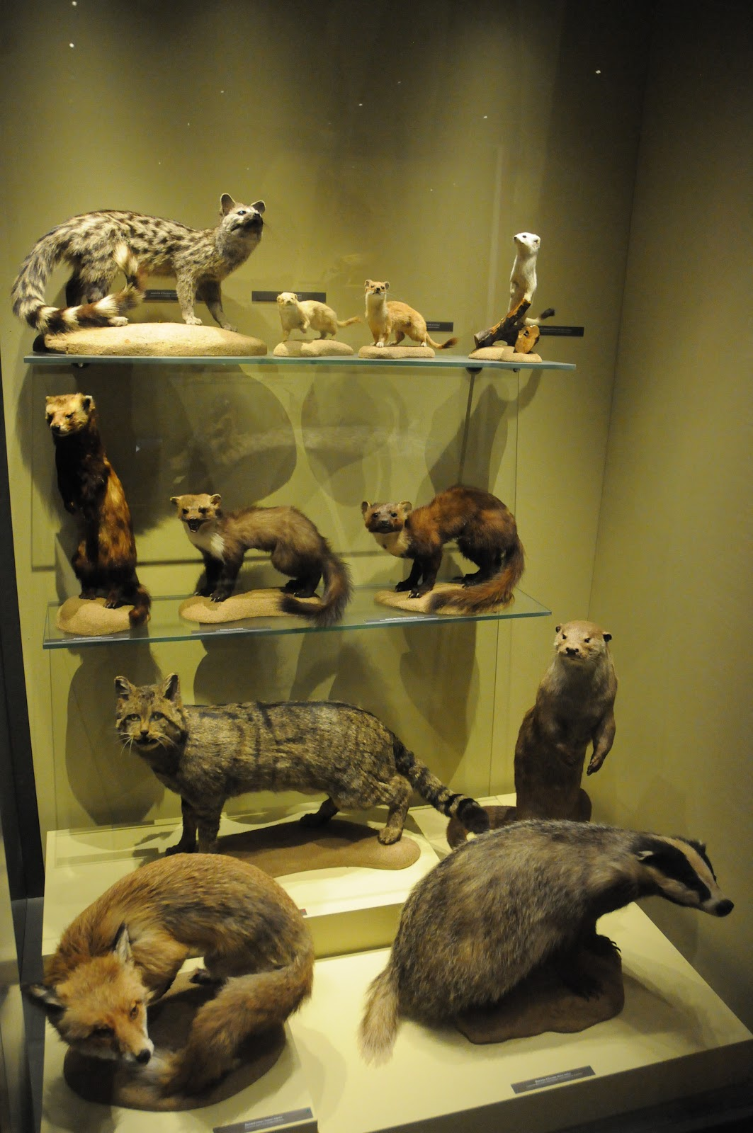 R1-mamm-petits carnivores 1.JPG