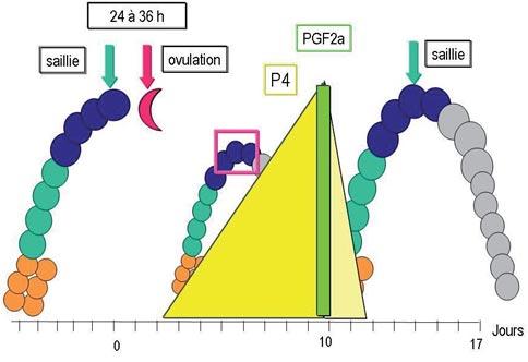 Schéma du développement lutéal chez l'alpaga