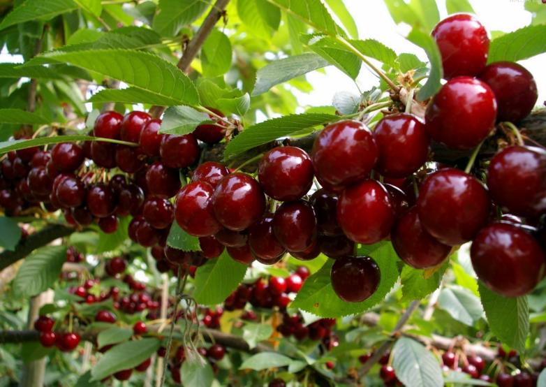 Nghiên cứu cho thấy, trong hạt cherry có chứa cyanogenic hoặc cyanide-forming glycosides có thể hình thành amygdalin khi nhai chúng.