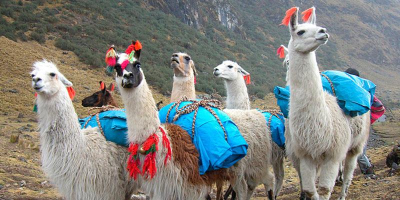 Photo of a llama pack train