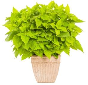 Image result for coleus lime time