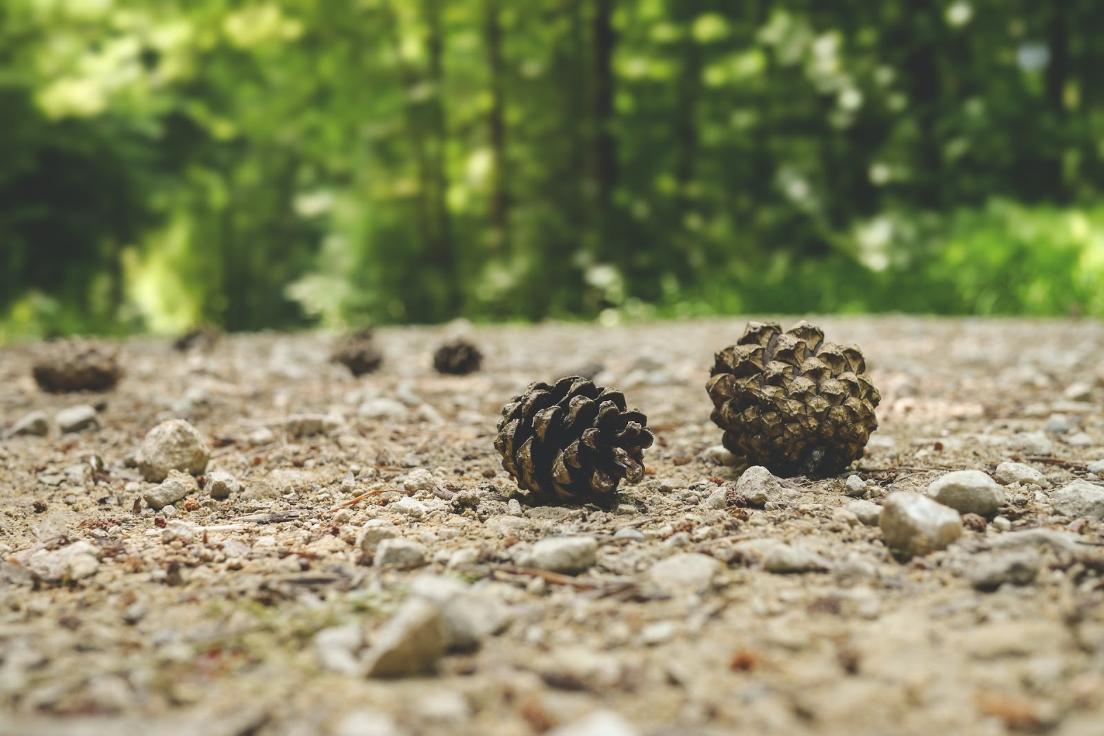 Pine cones on the ground that can be collected for a fun autumn activity.