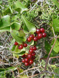 Smilax aspera in fruit