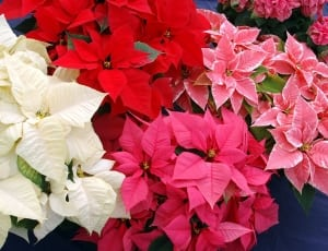 https://c2.peakpx.com/wallpaper/481/174/415/flowers-christmas-christmas-star-wallpaper-thumb.jpg