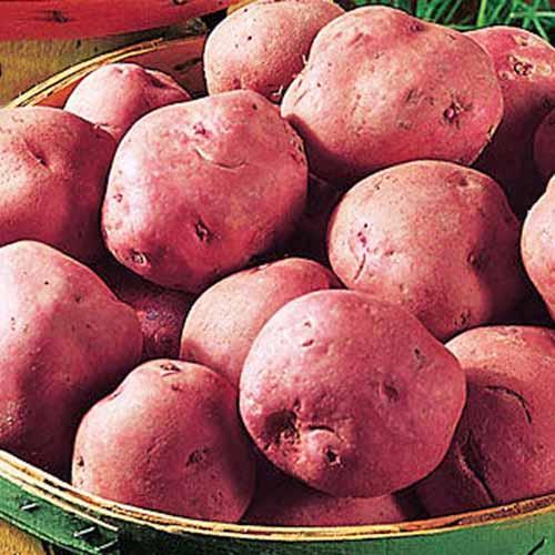 Red-Pontiac-Potatoes.jpg