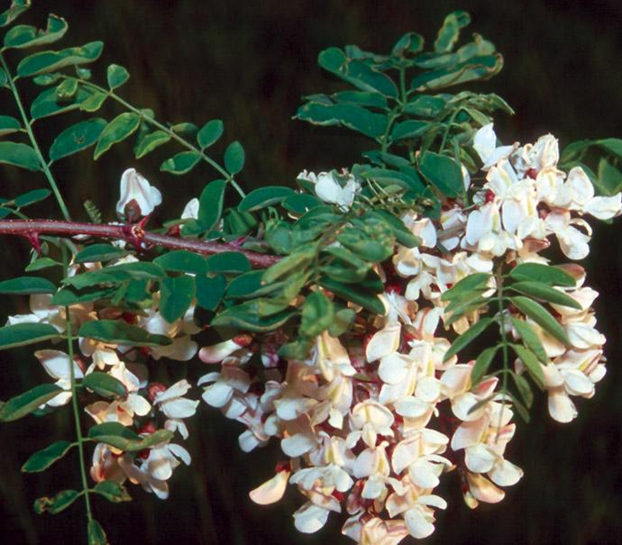 Robinia pseudoacacia flowers.