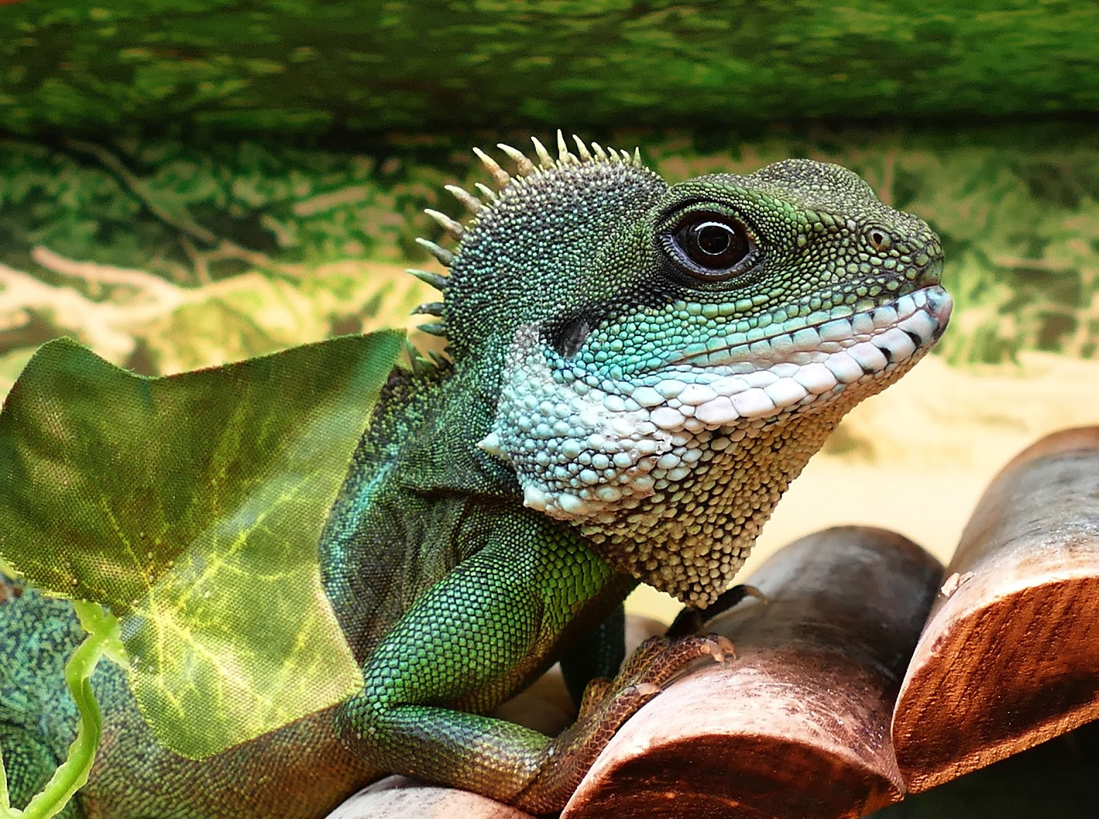 What To Know Before Buying An Exotic Pet For Christmas The Tye Dyed Iguana Reptiles And