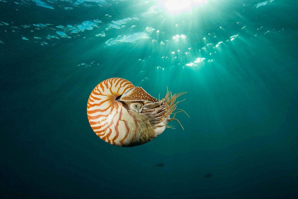 the chambered nautilus The chambered nautilus (nautilus pompilius) encounters severe environmental  hypoxia during diurnal vertical movements in the ocean.