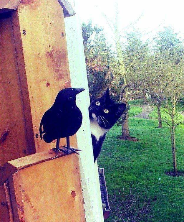 18. Cat playing hide and seek with a crow