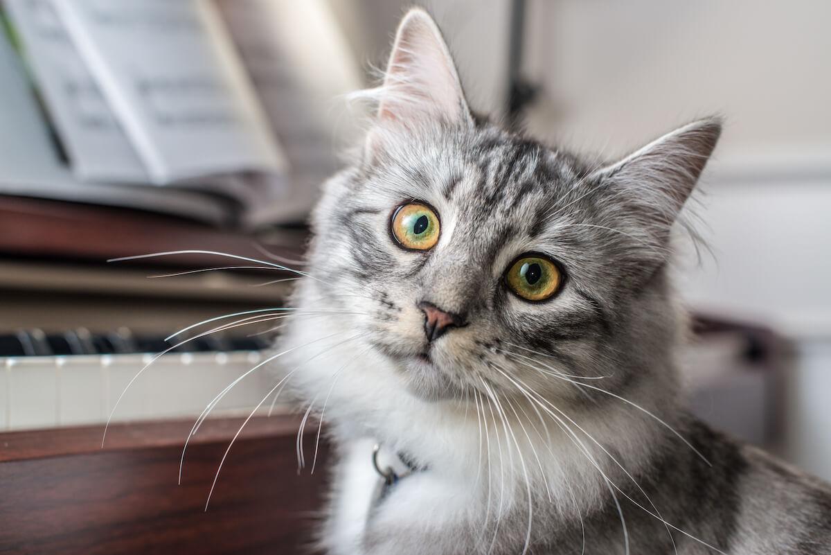 Les chats adorent écouter Chopin et Bach