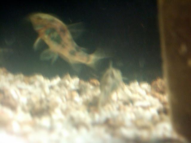 Mes aquariums, leur histoire et leur évolution... 60L et 25L Corydora