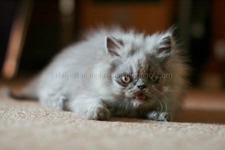 Mengatasi Mata Belekan Pada Kucing