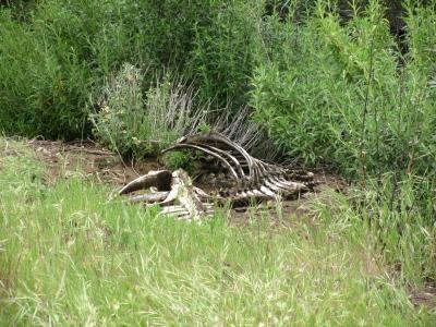 bones of horse
