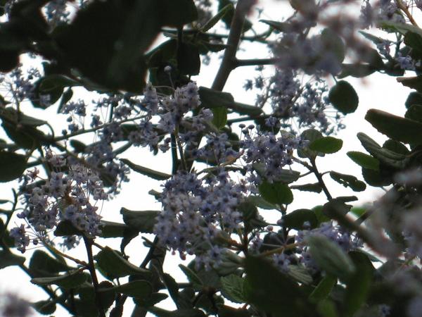 closeup-ish of lavander flowers on a bush