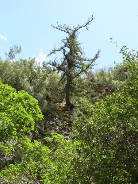 pine tree struggling on the cliff side above the sycamore