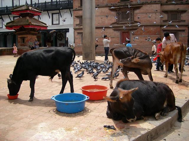ネパールの牛