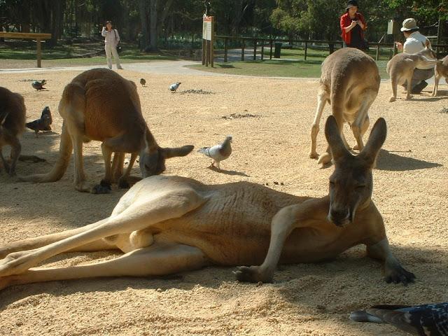 至福の表情で休むカンガルー