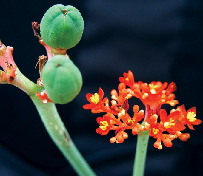 Jatropha podagrica flowers and fruits.