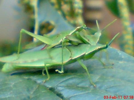 usaha pembajakan perkawinan belalang hijau 1