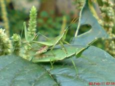 usaha pembajakan perkawinan belalang hijau 5