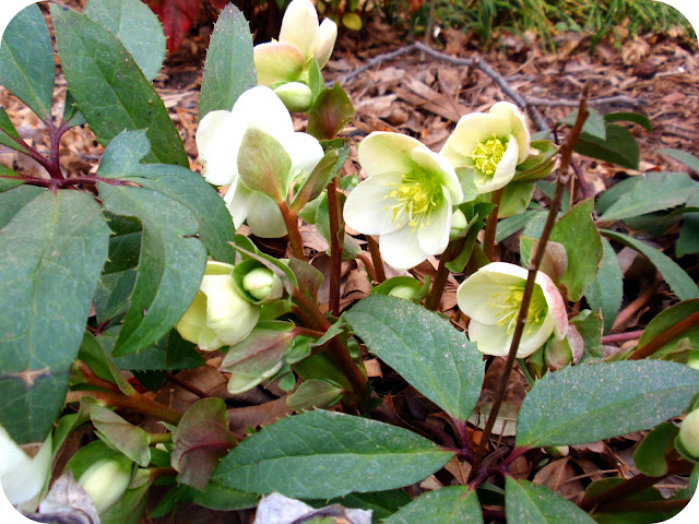 Hellebores in Texas