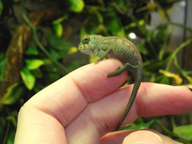 Image result for panther chameleons baby