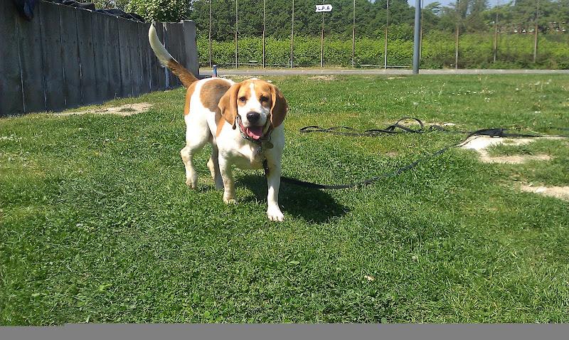 LOLA, beagle femelle 6 ans - LPA Lille (59) IMAG0155