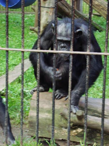 Szympans w oliwskim zoo