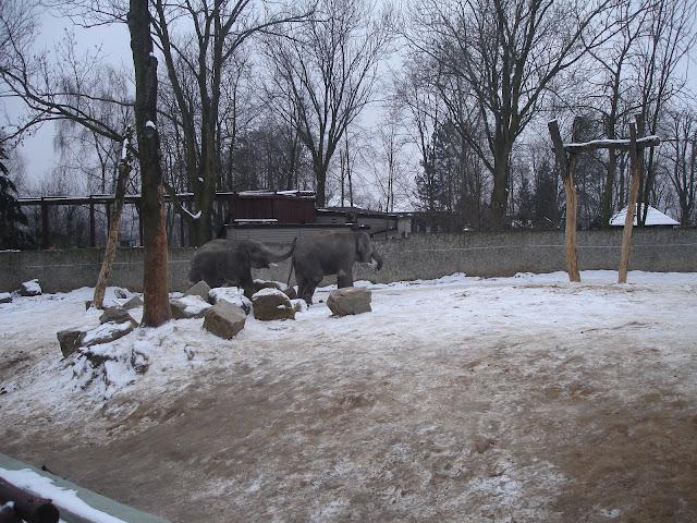 Słonie na wybiegu
