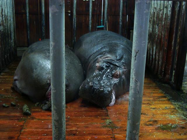 Oliwskie hipopotamy we wnętrzu