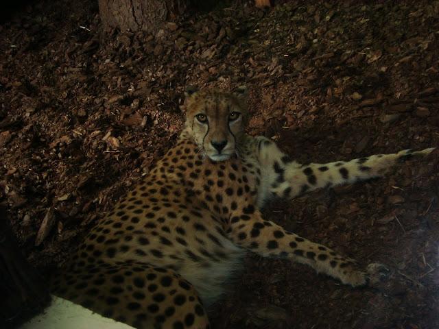 Gepard z oliwskiego zoo w swojej chatce