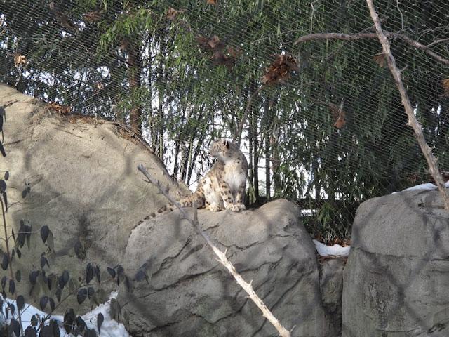 Pantera śnieżna na swoim wybiegu